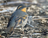 Thrush, Varied (Jordan River Parkway)