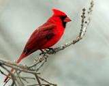 Cardinal,  Northern