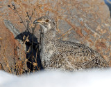 Grouse, Greater Sage (Female)