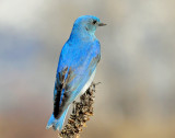Bluebird, Mountain