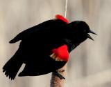 Blackbird, Red-winged