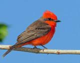 Flycatcher, Vermilian
