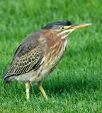 Heron, Green (Juvenile)
