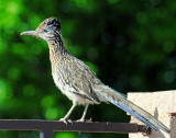Roadrunner, Greater