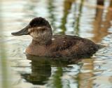 Duck, Ruddy (Female)