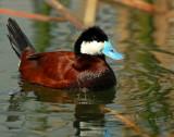 Duck, Ruddy
