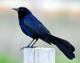 Grackle Great-tailed