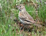 Sparrow, Vesper