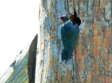 Woodpecker, Lewis's