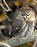 Owl Northern Saw-whetD-016.jpg