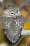 Owl Northern Saw-whetD-018.jpg