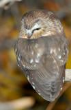 Owl Northern Saw-whetD-019.jpg