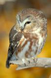 Owl Northern Saw-whetD-021.jpg