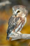 Owl Northern Saw-whetD-023.jpg