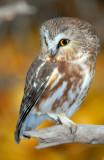Owl Northern Saw-whetD-025.jpg