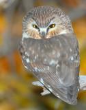 Owl Northern Saw-whetD-026.jpg