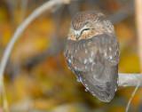 Owl Northern Saw-whetD-027.jpg