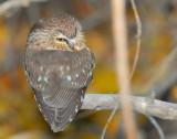 Owl Northern Saw-whetD-028.jpg