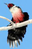 Woodpecker Lewis D-002.jpg