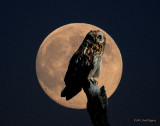 Owl, Short-eared (moon)