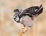 Owl Northern-hawk D-017.jpg