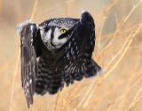 Owl Northern-hawk D-020.jpg
