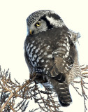Owl Northern-hawk D-032.jpg
