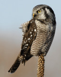Owl Northern-hawk D-038.jpg