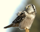 Owl Northern-hawk D-058.jpg