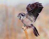 Owl Northern-hawk D-013.jpg
