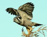 Owl Northern-hawk D-018.jpg