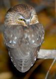Owl Northern Saw-whetD-034.jpg