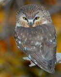 Owl Northern Saw-whetD-27.jpg