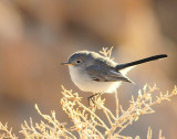 Gnatcatcher, Blue-grey