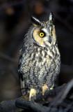 Owl Long Eared S-830.jpg
