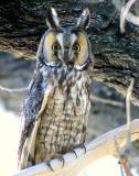Owl Long Eared S-875.jpg