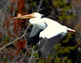 Pelican American White D-010.jpg