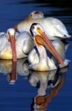Pelican WhiteS-1177.jpg