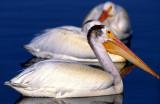 Pelican WhiteS-1183.jpg