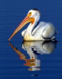 Pelican WhiteS-1184.jpg