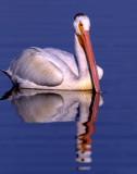 Pelican WhiteS-1185.jpg