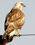 Hawk, Rough-legged 015.jpg