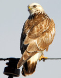 Hawk, Rough-legged 014.jpg