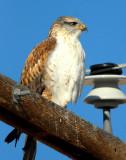 Hawk Ferruginous 004.jpg