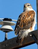 Hawk Ferruginous 002.jpg