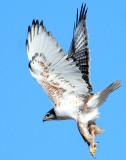Hawk Ferruginous 018.jpg