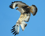 Hawk Rough-leged001.jpg