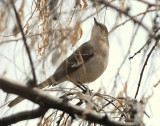 Mockingbird Northern D-003.jpg