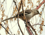 Mockingbird Northern D-007.jpg