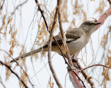 Mockingbird Northern D-009.jpg